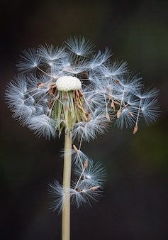 The beautiful dandelion flower in the garden in the nature