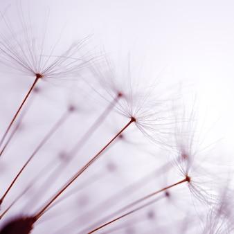 봄 날에 아름다운 민들레 씨앗