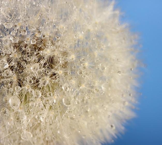 Красивый одуванчик с семенами на синем