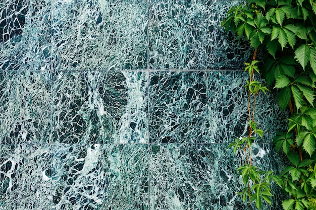 A beautiful dark green marble wall with white veins and climbing wild grapes.
