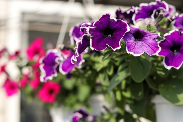 Beautiful decorative lilac petunias in hanging pots in the open air