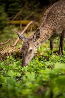 아름다운 사슴은 육즙이 많은 채소, 놀라운 야생 동물을 먹습니다
