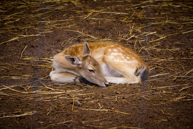 Beautiful deer laying on the ground at a zoo