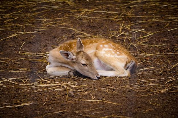Красивый олень лежит на земле в зоопарке