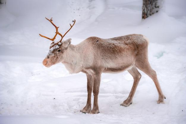 Красивый олень на заснеженной земле в лесу зимой