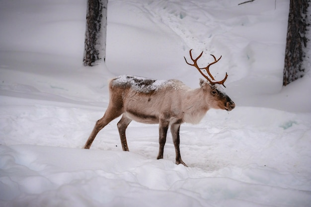 Beautiful deer on the snowy ground in the forest in winter