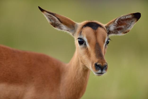 背景をぼかした写真の美しい鹿
