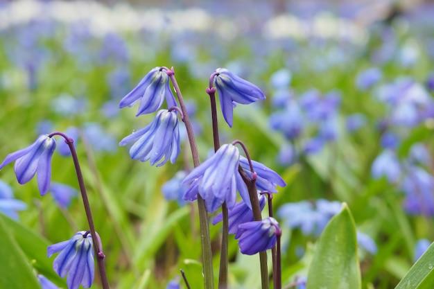 美しい繊細な青い花ブルーベル