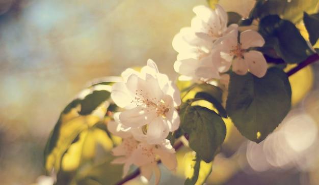 Красивые нежные кремово-белые цветы с зелеными листьями на яблоне весной