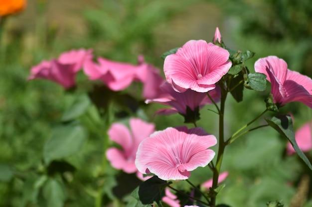В саду растут красивые нежные цветы