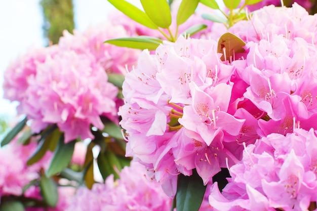 Красивые нежные розовые цветы рододендрона в парке. весеннее цветение