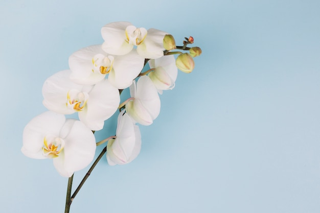 Beautiful delicate white orchid flower branch on blue background
