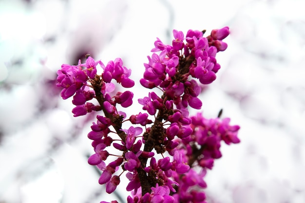 Beautiful detail of scented lilac purple purple flowers on a tree branch. early spring.