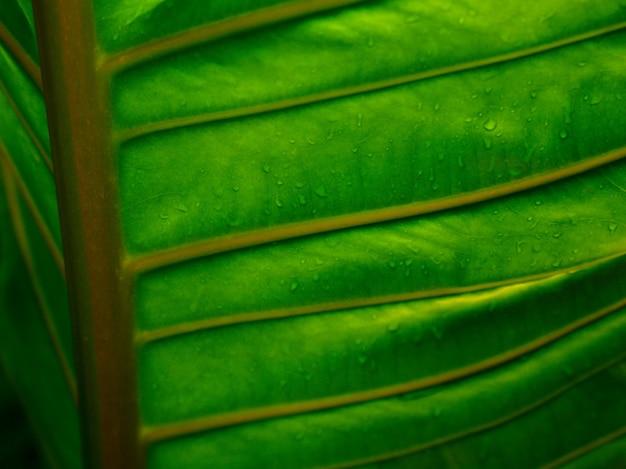빗방울이 있는 변덕스러운 짙은 녹색 식물 잎의 아름다운 세부 사항 정맥 및 큰 잎의 질감
