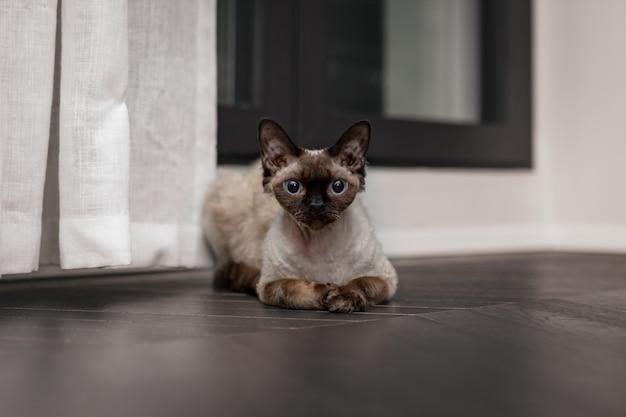 집에서 아름다운 데본 렉스 고양이
