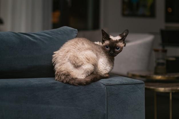 아름다운 데본 렉스 고양이 블루 포인트 유형 홈 인테리어.