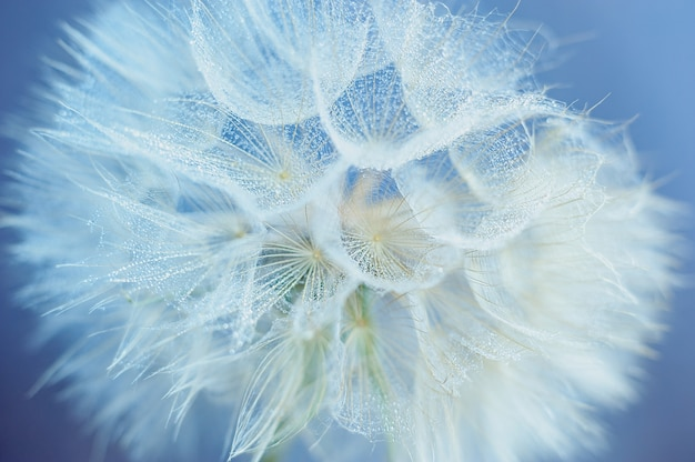 Beautiful dew drops on a dandelion seed macro. water drops on a parachutes dandelion.
