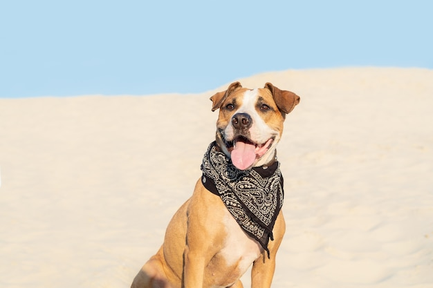 Beautiful dog in bandana sits in sand outdoors. cute staffordshire terrier puppy in sandy beach or desert on hot summer day