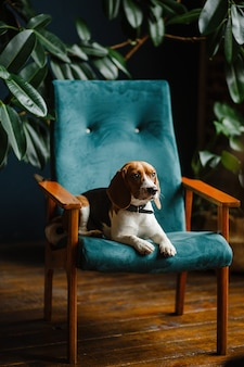 Beautiful dog beagle sitting on a green chair in the apartment interior