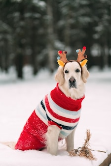 Beautiful dog in a blouse and reindeer horns looks at the camera