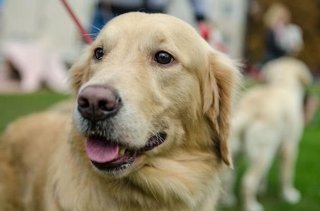 봄에 공원에서 가죽 끈에 산책을위한 아름다운 개 품종 골든 리트리버.