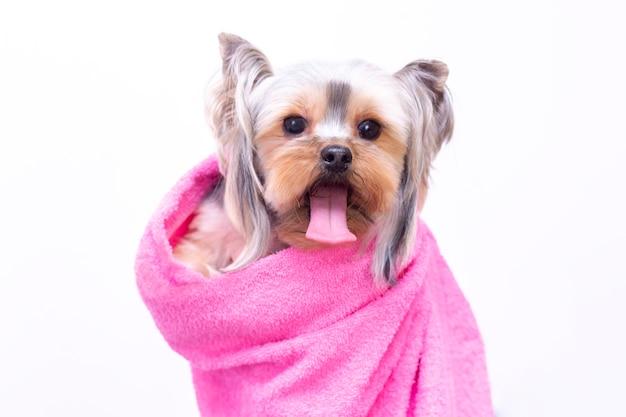 Красивая собака породы шпиц. салон для животных. ухоженная собака после купания. концепция грумера