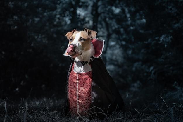 Красивая собака, одетая как вампир в темном залитом луной лесу. милый щенок стаффордширского терьера в костюме вампира на хэллоуин лижет язык, выстрелил в низком ключе