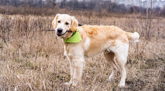 Красивая собака держит палку во рту на поле