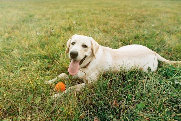 Красивая собака лабрадор, лежа на траве с оранжевый шар на закате