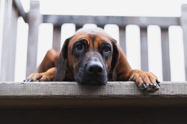 Красивая собака, лежа на деревянной лестнице