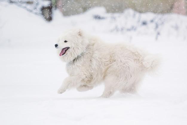 A beautiful dog samoyed running through the snow