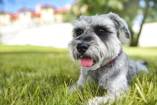 Красивая собака шнауцер, лежа на траве