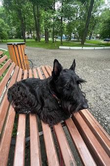 아름다운 개 스코틀랜드 테리어가 공원 벤치에 누워 있다