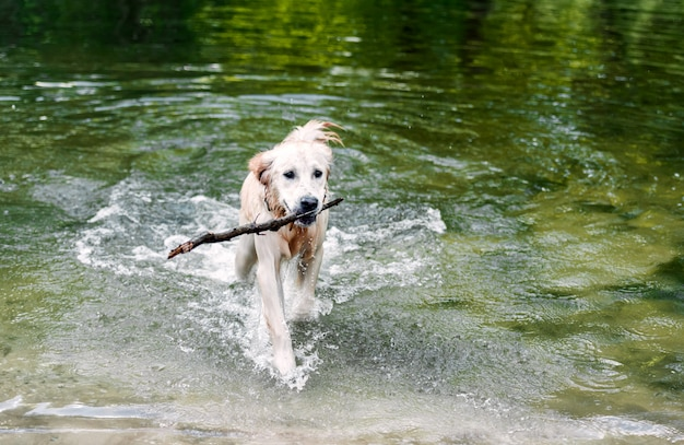 Beautiful dog walking out of water