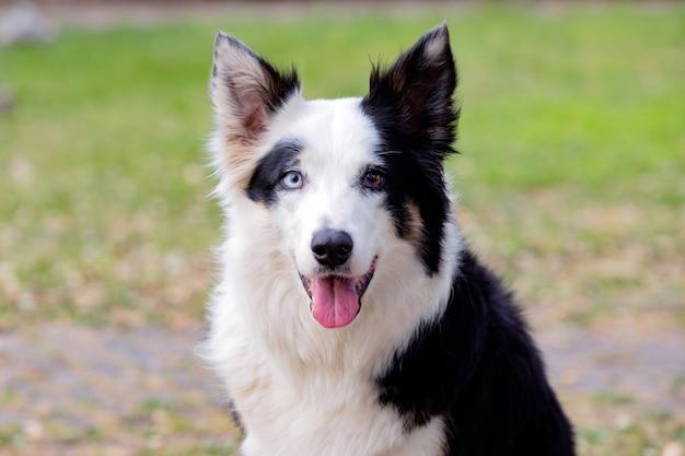 공원에서 다른 눈 색깔을 가진 아름다운 개