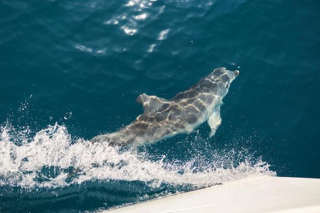 美しいイルカがヨットの船首で水中を泳ぐ