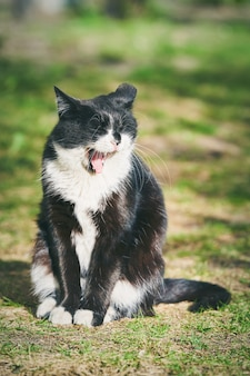 A beautiful domestic black cat with an open mouth sits on the green grass