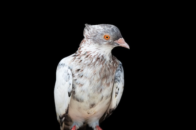 A beautiful domestic female pigeon standing on an isolated black background close up