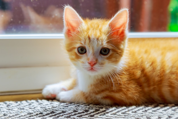 Beautiful domesticated yellowish cat waiting by the door