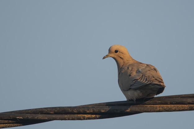 Beautiful dove sitting on a wooden branch