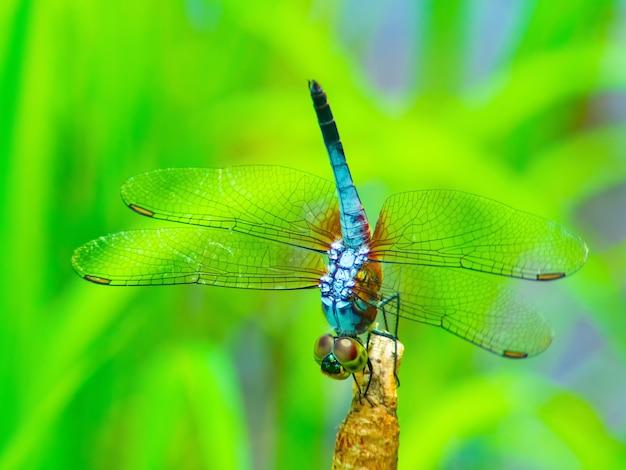 Beautiful dragonfly (grasshopper)