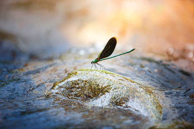 Beautiful dragonfly on a rock in stream river , nature background