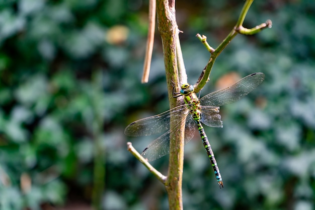Beautiful dragonfly sitting on a branch with blurred background