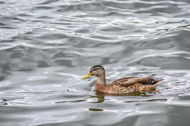 Beautiful duck is swimming in windermere lake after raining