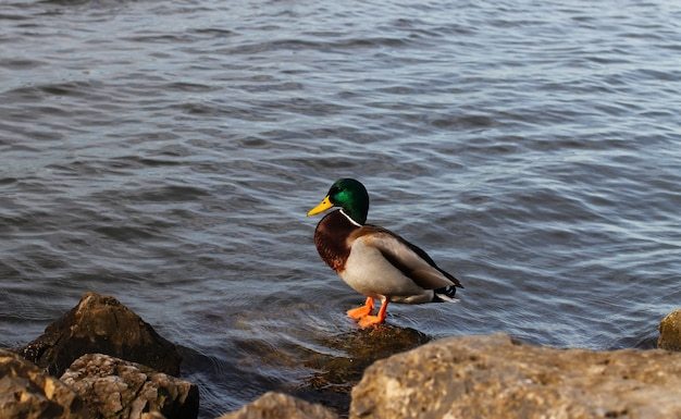 A beautiful duck on the shore of a lake or sea