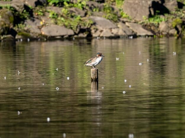 Bella anatra che sta su un ceppo di legno nel mezzo di un lago nella foresta di izumi, yamato, giappone