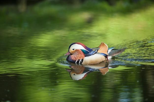 美しいアヒルが川で泳いでいます。