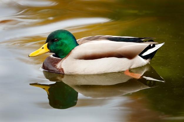 Beautiful duck swimming in a lake