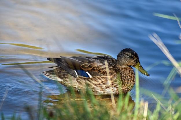 Красивая утка плавает в озере