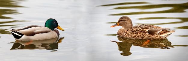 Beautiful ducks swimming